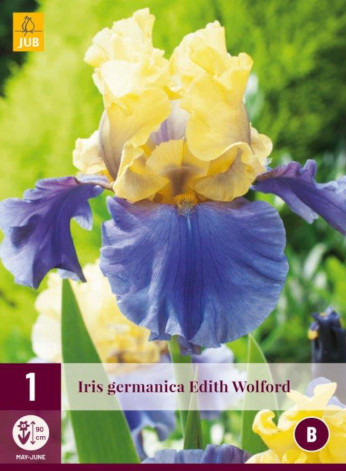 Iris germanica Edith Walford